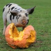 Tierpate Schwein